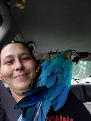 beautiful hand reared baby blue and gold macaws in Empuluzi, Mpumalanga