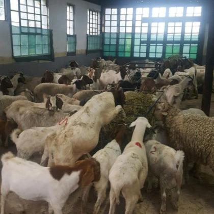 Boer goats and sheeps for sale