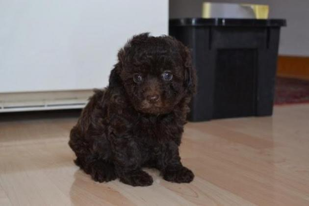 Delightful And Healthy Toy Poodle Pups