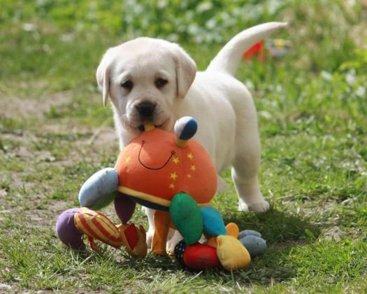 Excellent Labrador Retriever Puppies