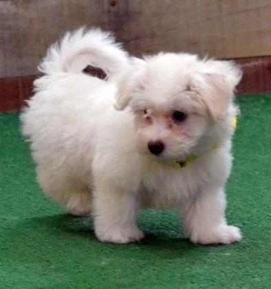Maltese puppies for sale in East London, Eastern Cape
