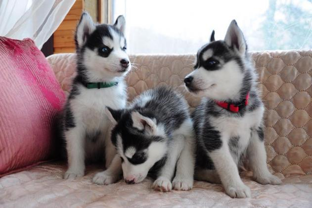 Siberian Husky Puppies looking forever home's