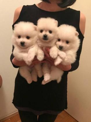Toy Pomeranian Puppies in Rosettenville, Gauteng