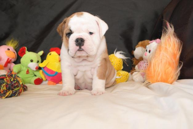 Vaccinated And Microchipped English Bulldogs in Heilbron, Free State