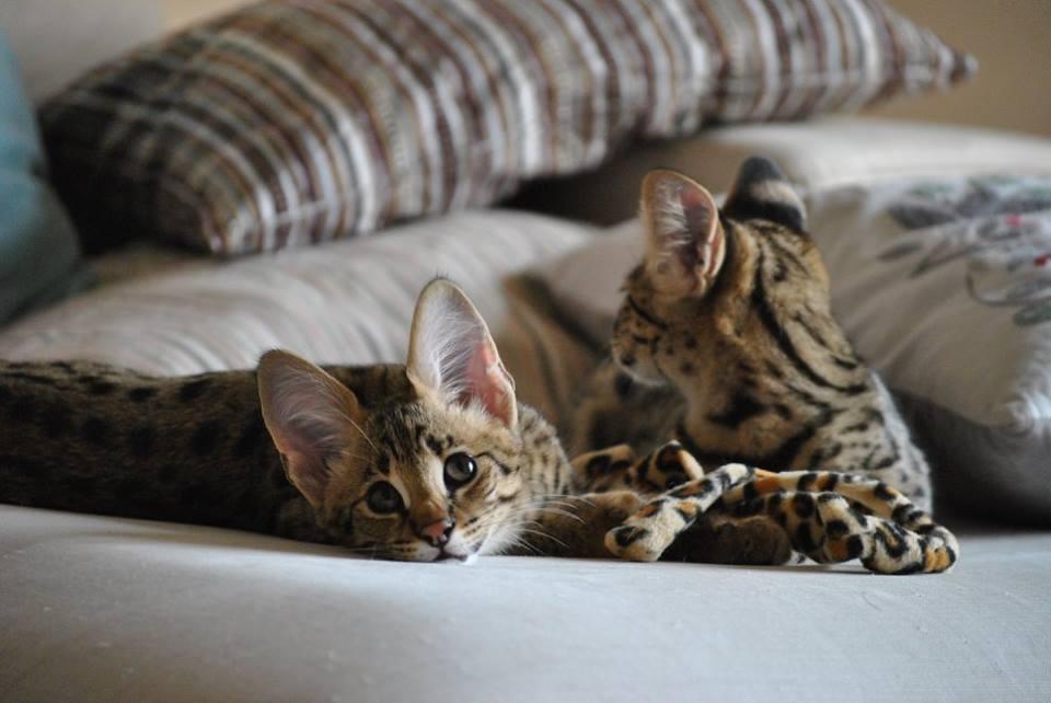F1 Savannah, Servals Kittens Available! | Meyerton | Public