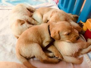 Beautiful Labrador Puppies