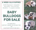 English Bulldog Puppies for Sale - Pretoria