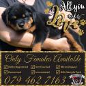 KUSA Registered Rottweiler Female Puppies Ready to go
