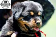 World Class Rottweiler Puppies For Your Family
