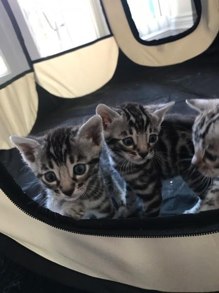 Awesome Silver Bengal Kittens for sale | Grahamstown