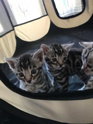 Awesome Silver Bengal Kittens for sale