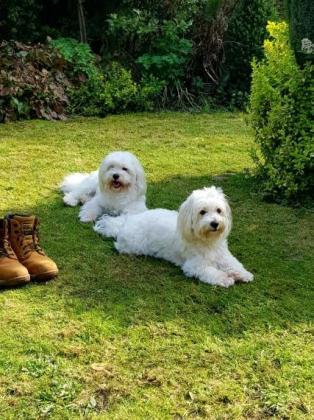 Coton De Tulear Puppies