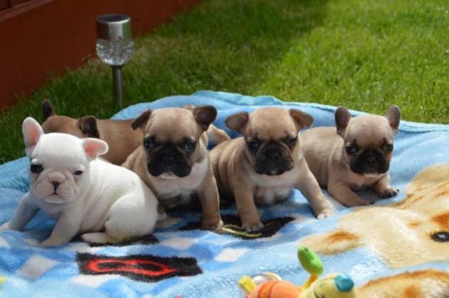 French Bulldog Puppies For Sale in Alberton, Gauteng