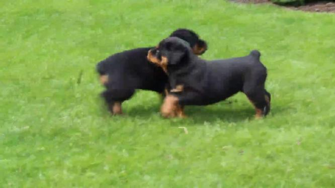 hello i have a rottweiller puppies