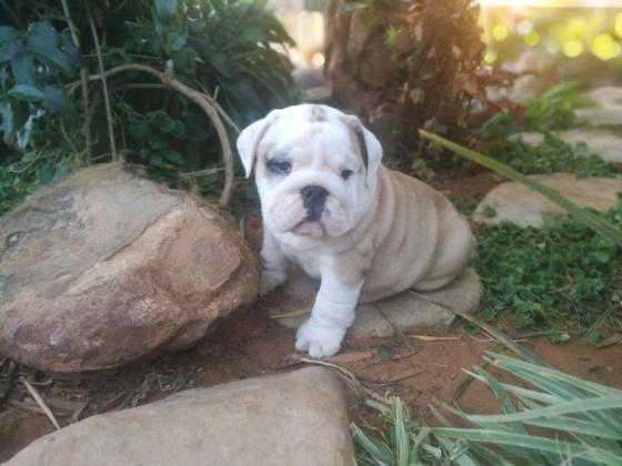 Kusa registered English Bulldog puppies in Cape Town, Western Cape