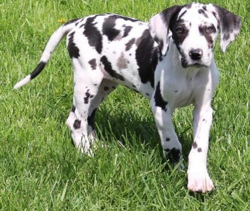 Purebred Great Dane Puppies with papers