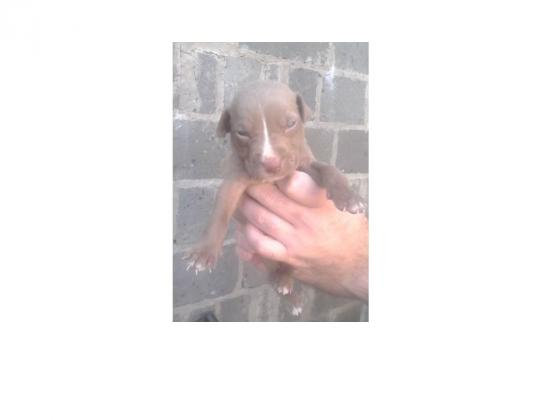 REDNOSE / BULLISON PITBULL PUPS FOR SALE PURE BREED
