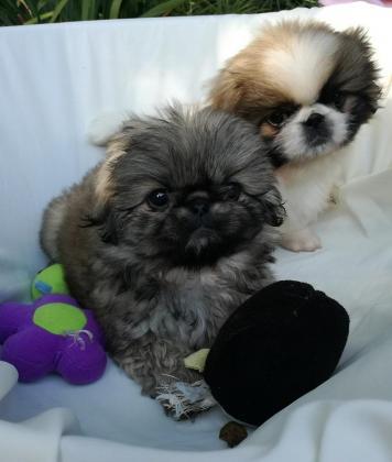 Shih Tzu /mini maltese puppies in Port Shepstone, KwaZulu-Natal