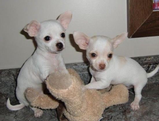 TINY CHIHUAHUA PUPPIES AVAILABLE