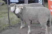 Healthy and huge Merino Sheep for sale
