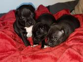Staffy puppies for sale