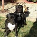 Staffy puppies for sale Moorreesburg