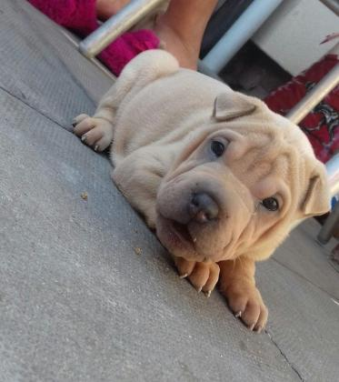 Amazing Shar Pei Puppies For Sale