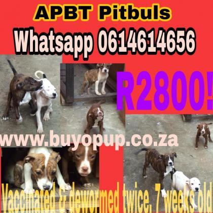 APBT American Pitbulls - Rare Colors in Durban, KwaZulu-Natal
