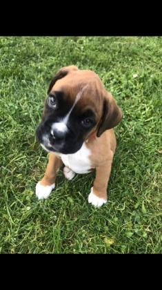 Boxer puppies 2 BOYS LEFT