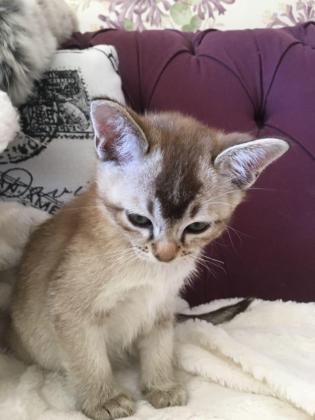 Gccf Reg. Pedigree Asian (aka Burmilla) Kittens in Adelaide, Eastern Cape