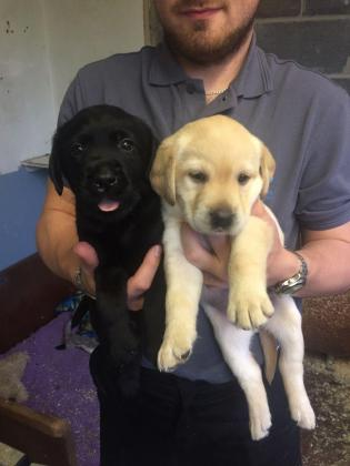 Labrador puppies, vaccinated, vet checked, & KUSA registered