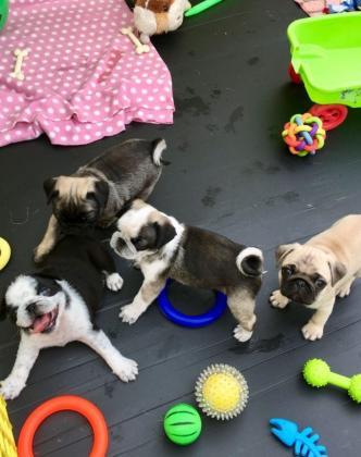 Panda Pug Puppies