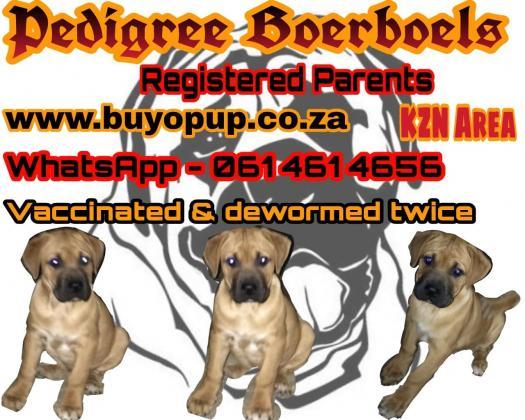 Pedigree Boerboel puppies in Other KZN, KwaZulu-Natal