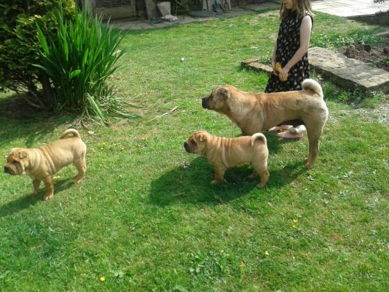 Shar Pei Puppies KUSA Registered