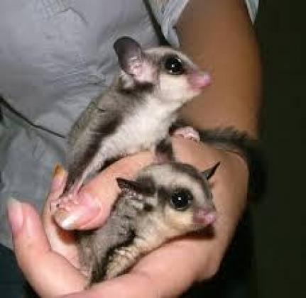 Suger Gliders Male And Female