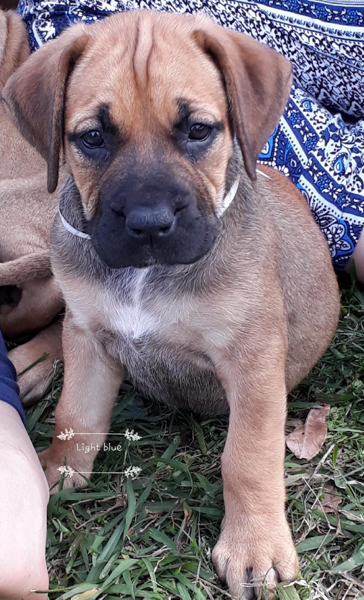 Boerboel Puppies | Margate | Public Ads Boerboel Dogs & Puppies