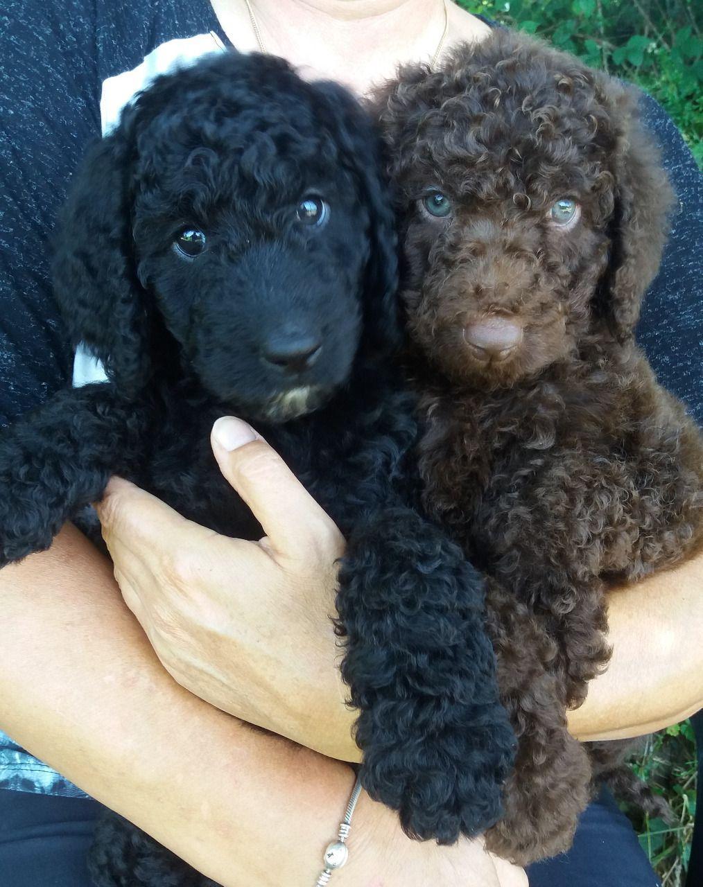 Chocolate & Black Standard Poodles For Sale | Carnarvon | Public Ads