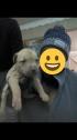 boerboel cross with Labrador puppies