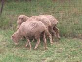 Healthy Merino Sheep for sale