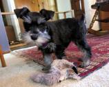 Miniature Schnauzer puppies for love home
