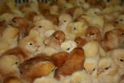 one day old Hy-Line Brown chicks