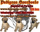 Pedigree boerboel puppies