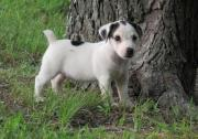 Pretty Jack Russell Terrier puppies for sale.