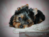 Yorkie puppies - Pedigree