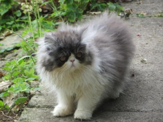 Black Smoke & White Fluffy Persian Kittens