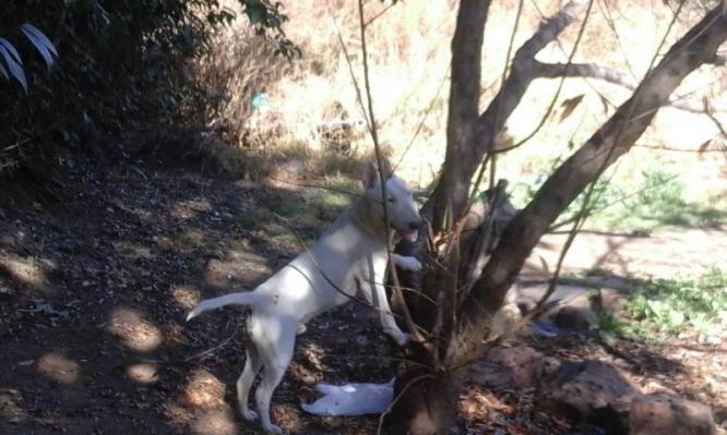 Bull Terrier Puppies in Walkerville, Gauteng