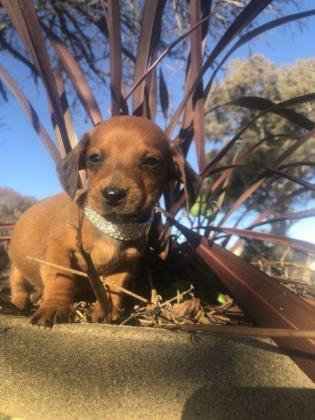 Mini Dachshund puppies