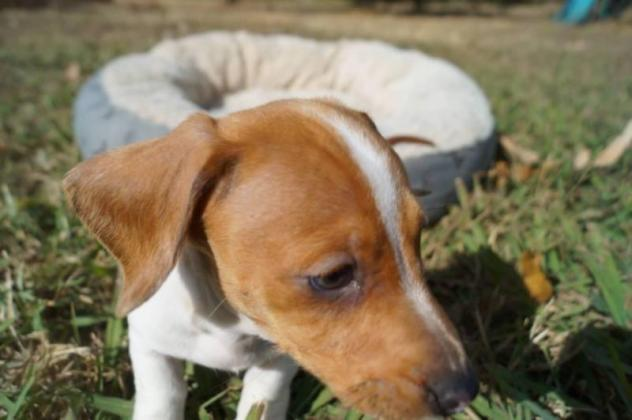 Miniature Dapple Dachshund Puppies For Sale in Sandton, Gauteng