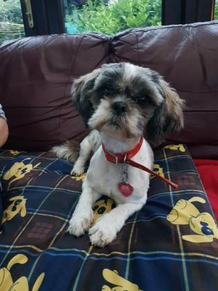 Pedigree Shih Tzu puppies for sale