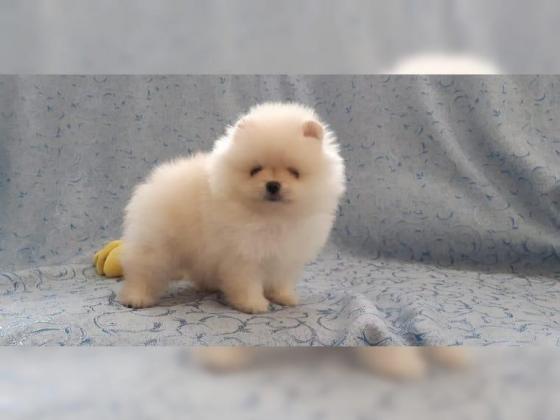 Pomeranian puppies for sale Toy pom